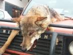 Lovci ubili vuka