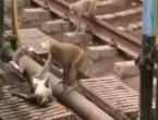 Majmun nije odustao dok nije oživio drugog majmuna