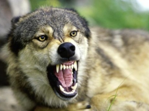 Vukovi zaklali desetak ovaca na Ljubuši
