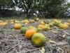 Enormna količina kiše uništava urod mandarina; neretvanski voćari očajni