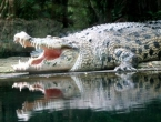 Spasila supruga iz čeljusti krokodila