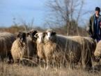 Na Kupresu bruceloza prenesena sa životinje na čovjeka