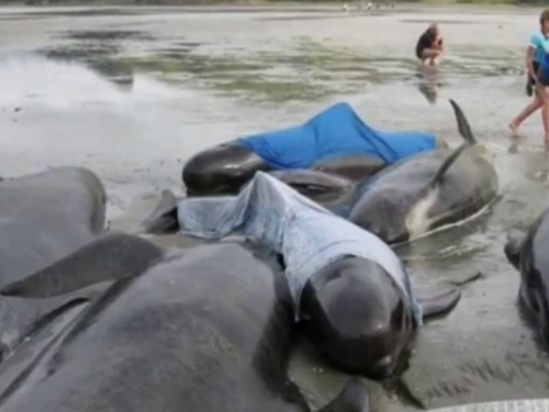 """Japanci ubili više od 300 kitova zbog """"znanstvenog istraživanja"""""""