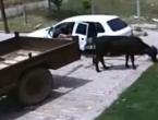 VIDEO: Pogledajte filmsku otmicu krave