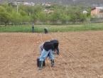FOTO: I Ramljaci krenuli sa sadnjom smilja