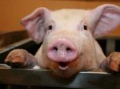 Hrvatski znanstvenici 'oživjeli' mozak uginule svinje