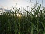 Loš urod kukuruza utjecat će na kvalitet junećeg i svinjskog mesa