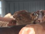 Brod pun krava već mjesecima besciljno luta Mediteranom, nitko ih neće, veterinari: 'Pobijte ih sve!