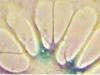 Znanstvenici uspjeli obrnuti proces starenja u ljudskim stanicama