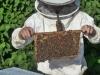 'Pčelinji otrov ćemo prodavati u Europi, za kilu se dobije i 20 tisuća eura'