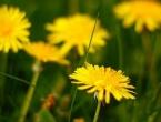 Ova biljka bi mogla pomoći u liječenju raka!