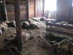 Četiri vuka zaklala čak 87 ovaca