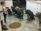 VIDEO: Četverogodišnjakinja hrani pit bullove - internet šokiran
