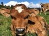 130 KM po satu da bi grlili kravu