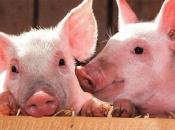 Afrička svinjska kuga hara Rumunjskom, usmrtili su više od 110 tisuća svinja