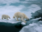 Broj polarnih medvjeda mogao bi se smanjiti za trećinu do sredine stoljeća