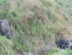 Tri automobila usmrtila 15 divljih svinja