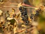 Toplinski val spržio francuske vinograde