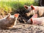 U Srbiji službeno potvrđena afrička svinjska kuga
