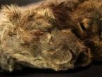 Savršeno očuvano mladunče pećinskog lava staro 28.000 godina pronađeno u Sibiru