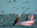Japan nastavlja s izlovom kitova