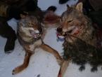 Foto: Ubijena dva vuka
