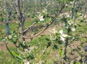 Prevrtljivo proljeće: Kako zaštititi voćke od mraza