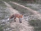 Livno: Lisica se druži s ljudima, jede iz ruke, obožava roštilj i kupi smeće