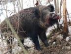 U Tomislavgradu izdana zabrana lova na divlje svinje