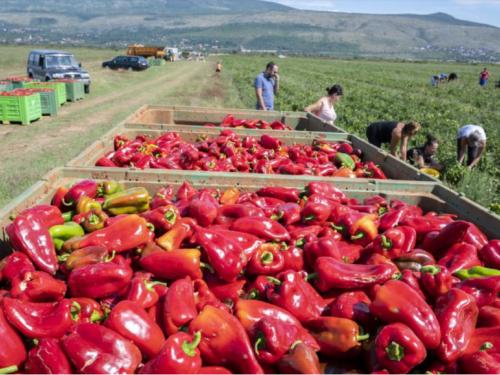 Vrijedne ruke Hercegovaca beru tone paprike koja ide na tržište Europske unije