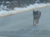 Otac golim rukama zadavio kojota koji mu je napao sina