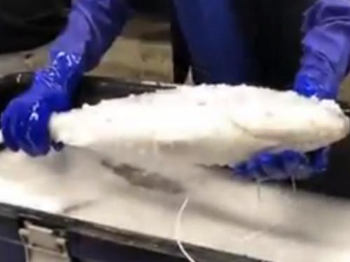 Oživjeli smrznutu ribu?!