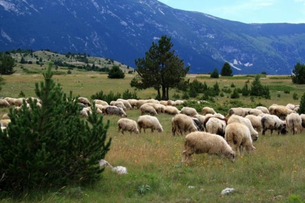 druženje s ovcama